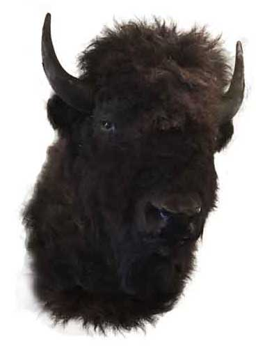 Mounted American Buffalo Head
