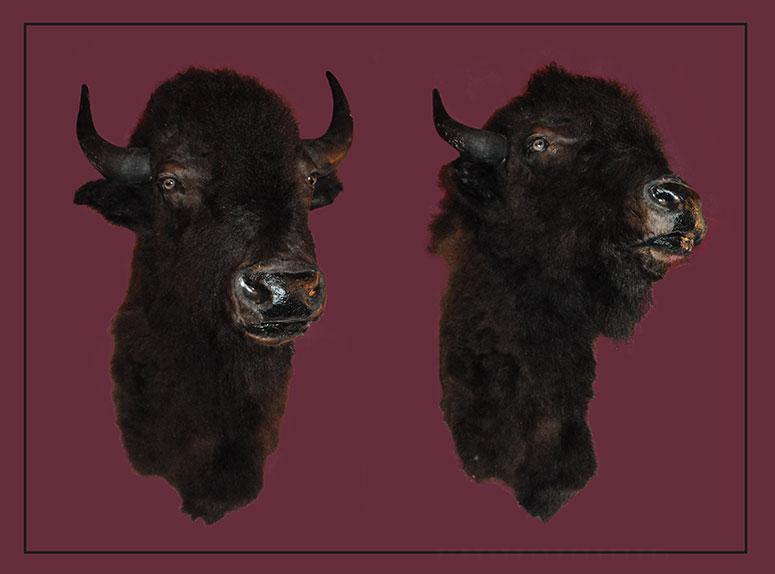 Classic Buffalo Head