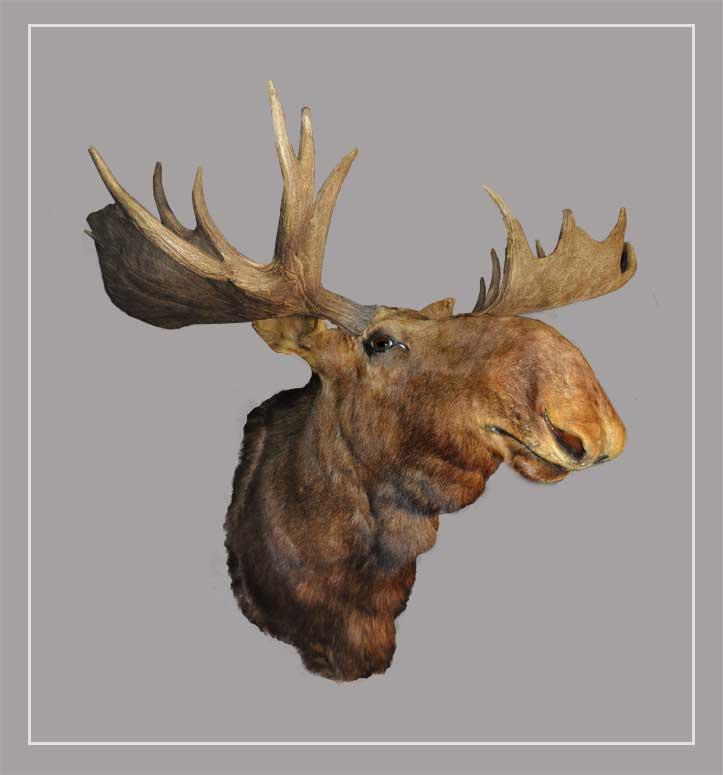 Large, Mounted Moose Head