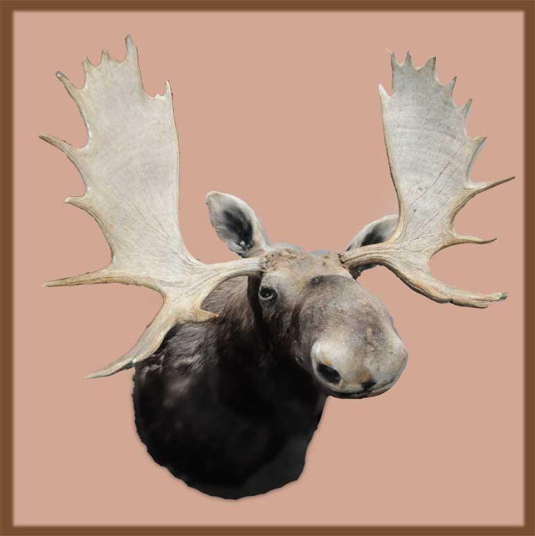 Large, Vintage Moose Head